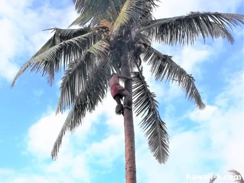 椰子の木に登る