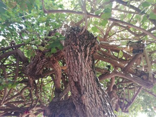 ハウツリーの木陰