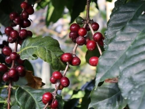 赤黒く色づいたコーヒーの実